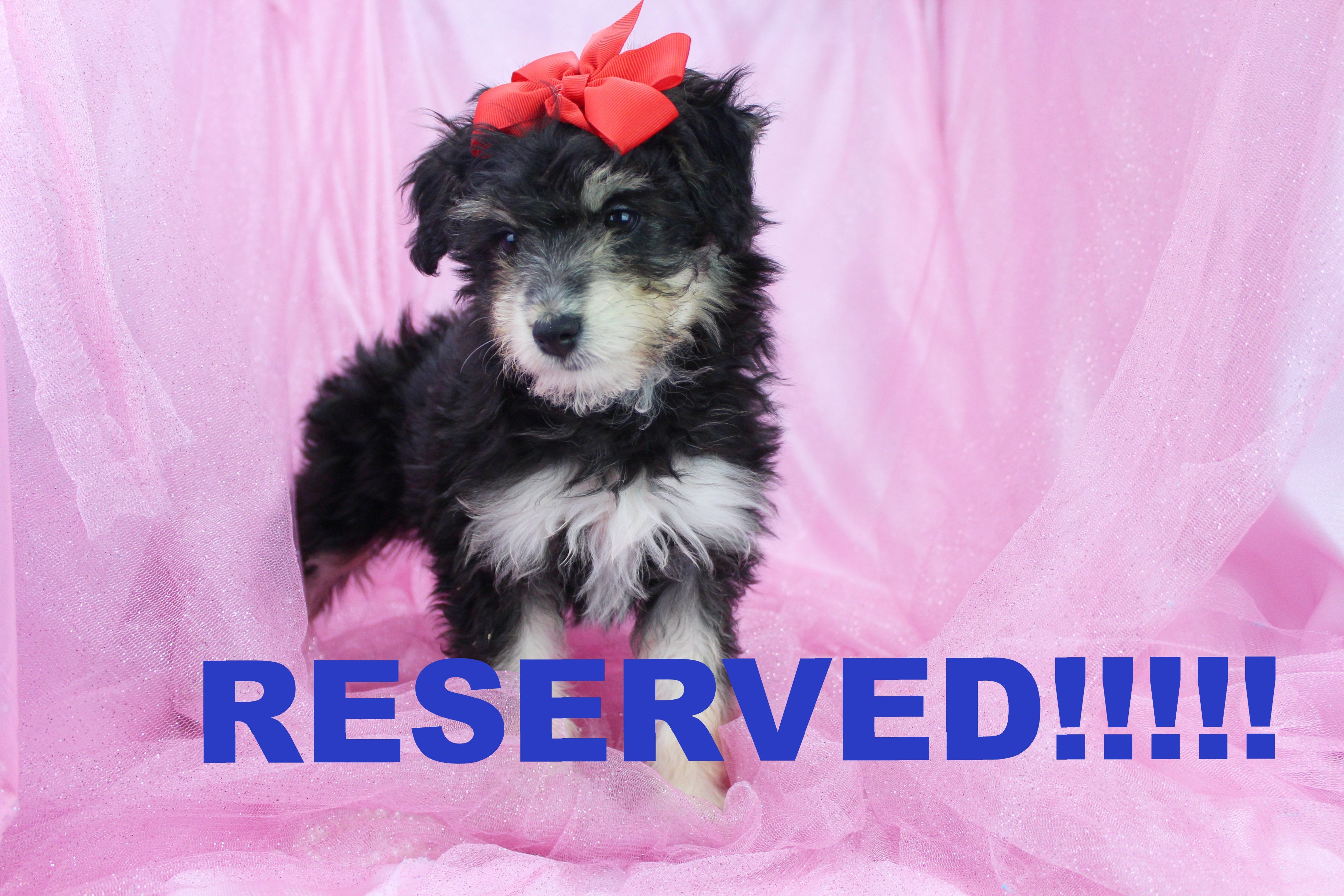 Rose Female Miniature Aussiedoodle Puppy
