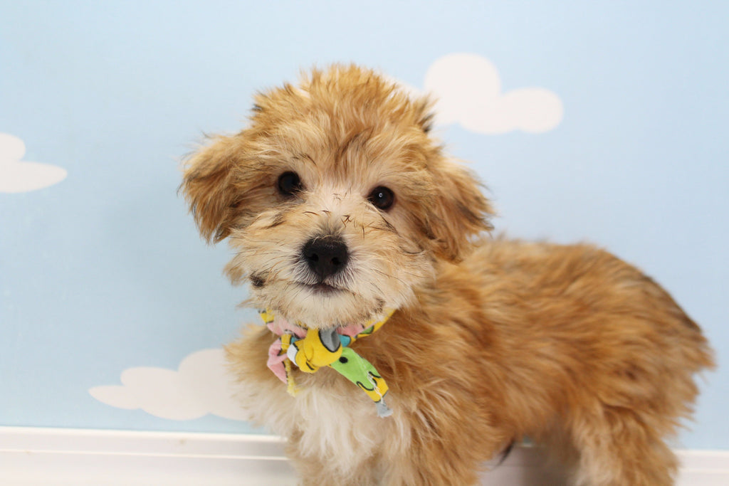 Windle Male Teacup Morkie Puppy