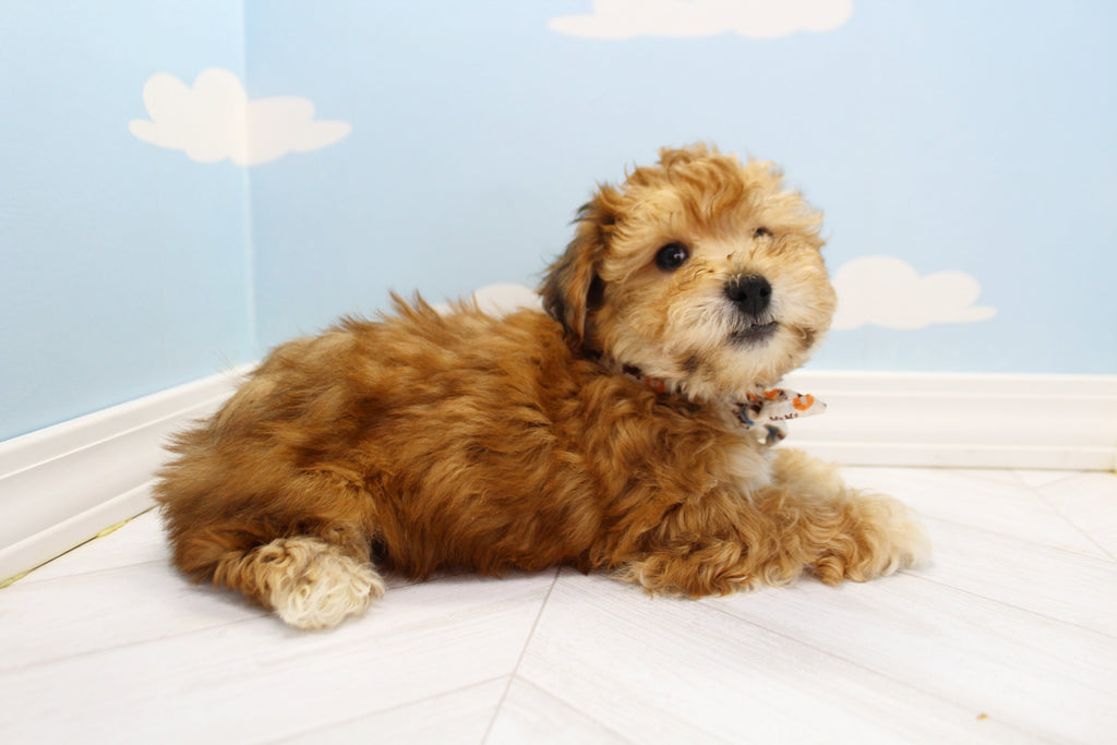 Buster Male Teacup Maltipoo Puppy