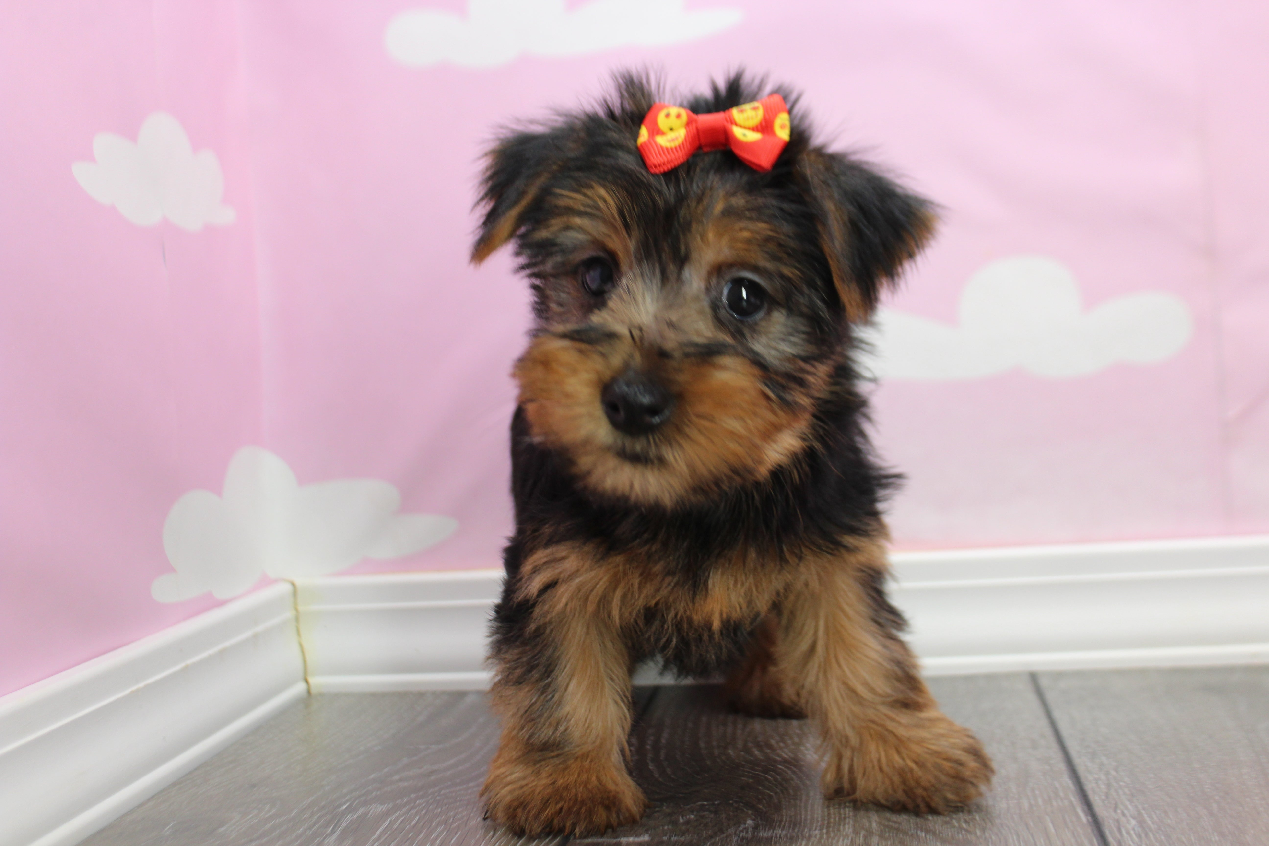 *RESERVED* Bianca Female Teacup Yorkie Puppy
