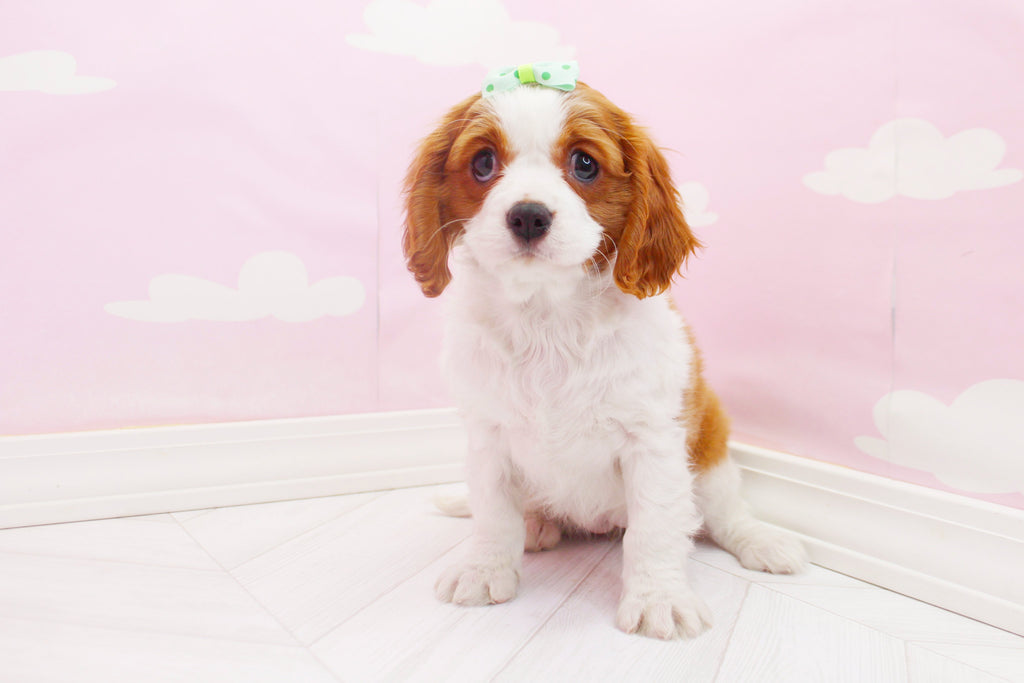 ***RESERVED***Pebbles Female Cavalier King Charles Spaniel Puppy