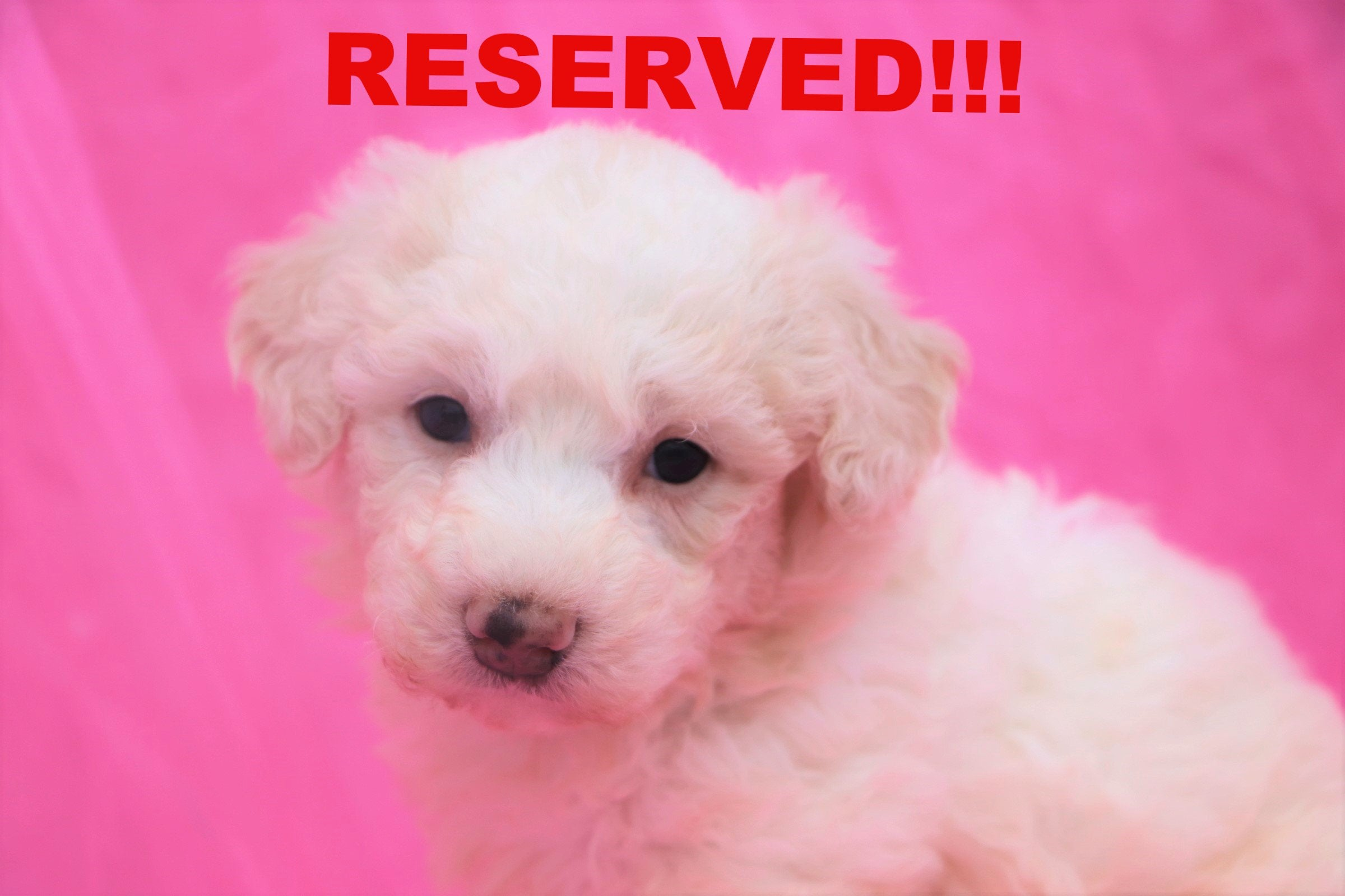 Katie Female Bichon Frise Puppy