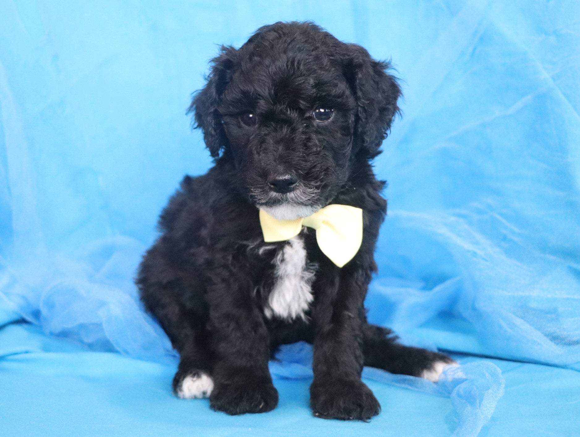*RESERVED*Harry Male F1B Mini Sheepadoodle Puppy