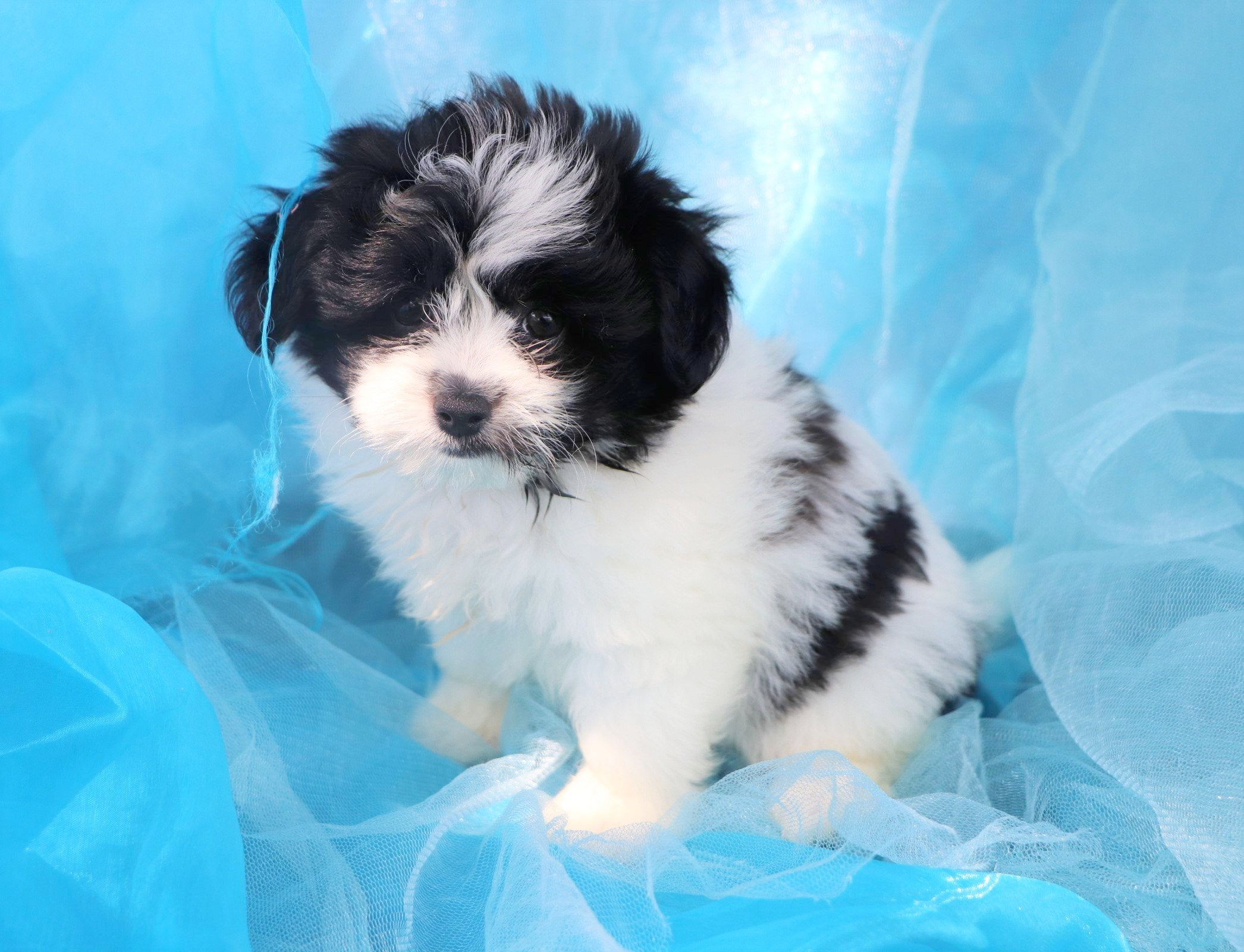 Cajun Male Teacup Pomapoo Puppy*
