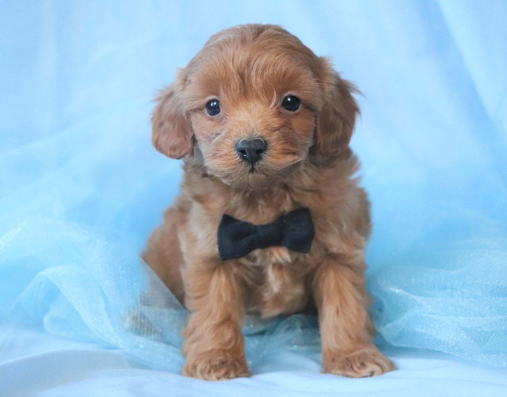 *RESERVED* Pluto Male F1B Cavapoo Puppy