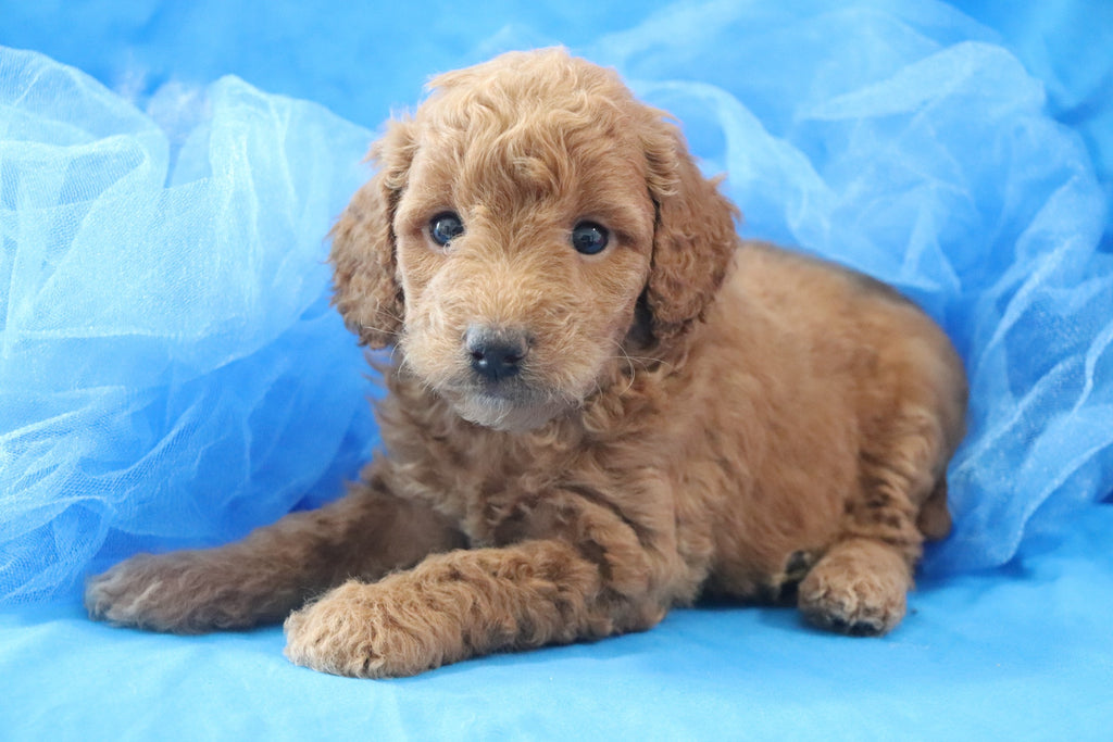 *RESERVED* Albus Male F1B Mini Goldendoodle Puppy