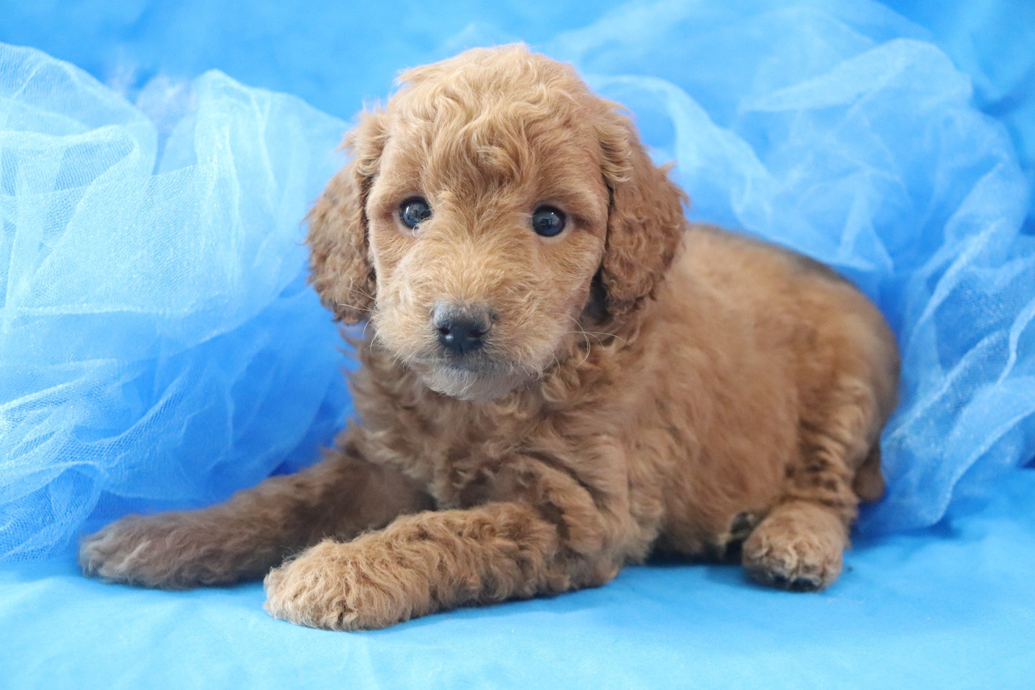 Reserved Albus Male F1b Mini Goldendoodle Puppy