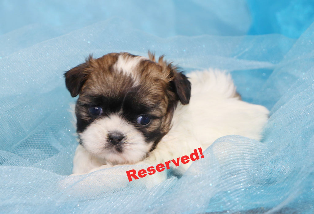 Happytail puppies happytail puppies for sale in north carolina breeder in nc - Imperial westies ...