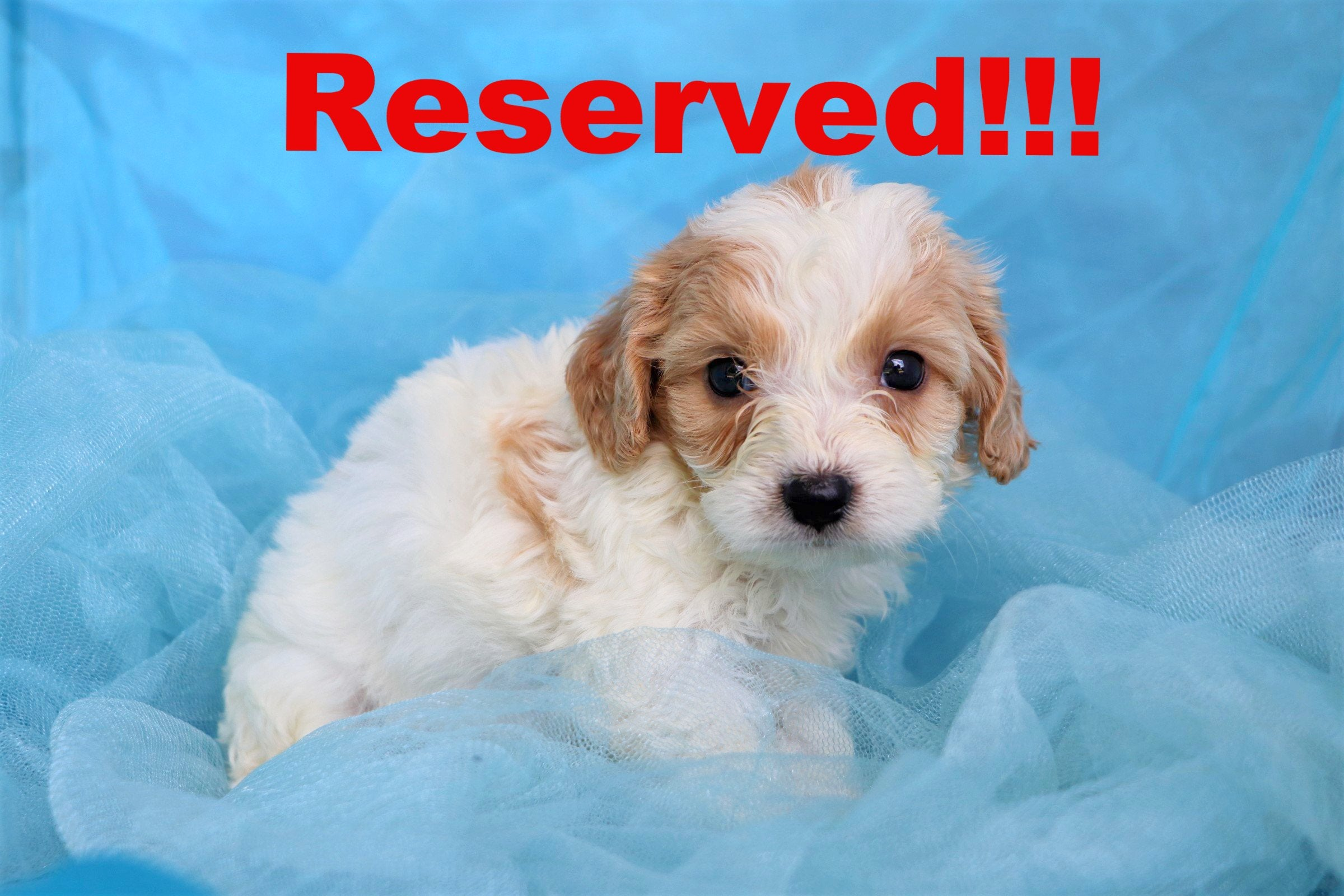 Alton Male Cavachon Puppy