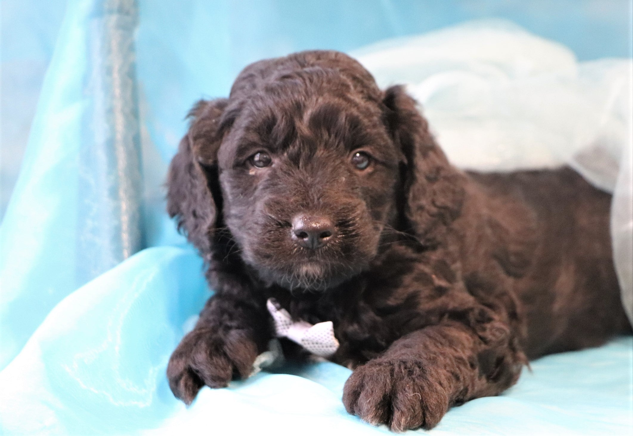 Rooster Male Black F1b Mini Goldendoodle Puppy