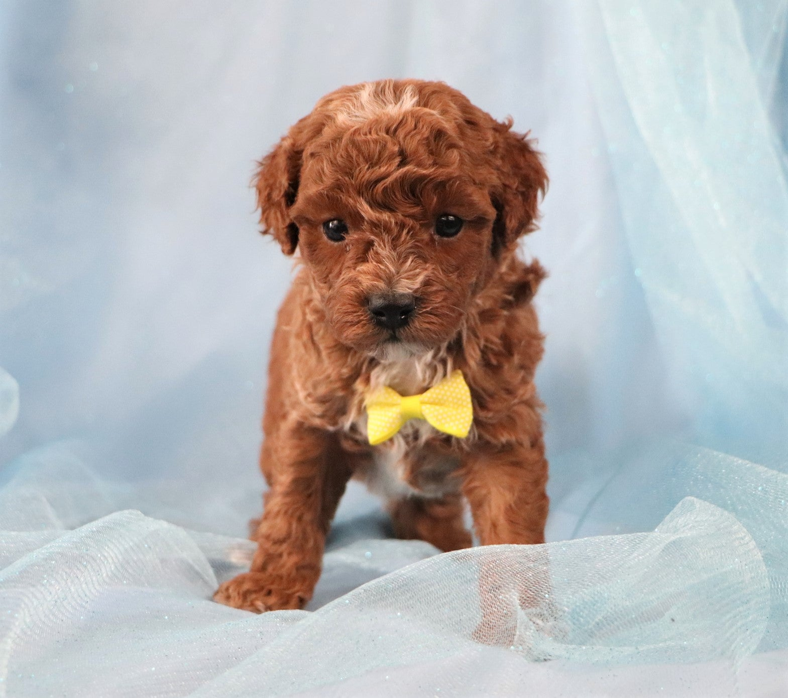 *RESERVED*Dinky Male F1B Cavapoo Puppy