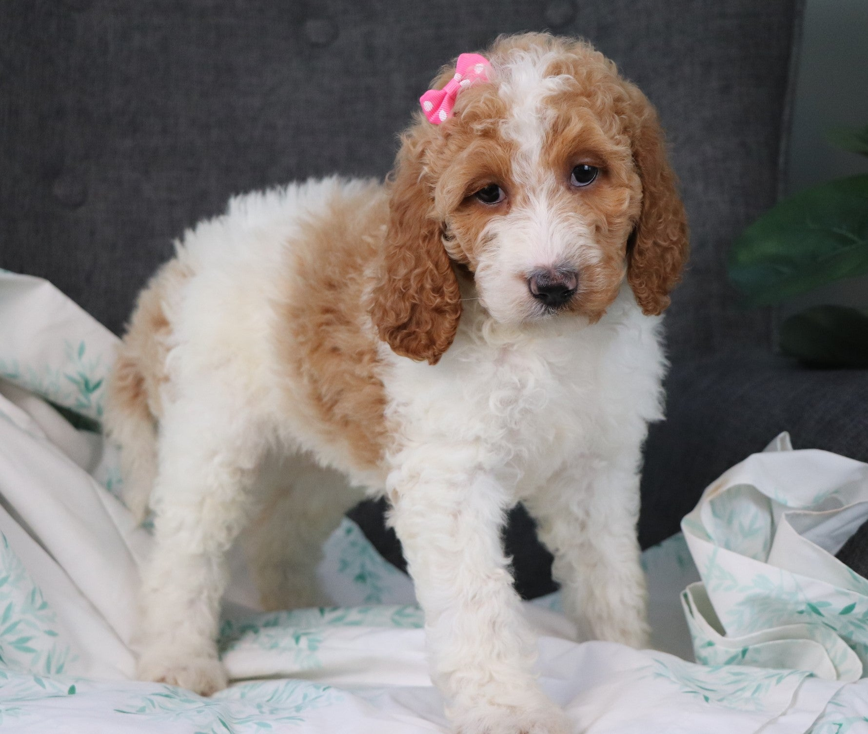 Noelle Female *ELITE-TRAINED* Parti Standard Goldendoodle Puppy