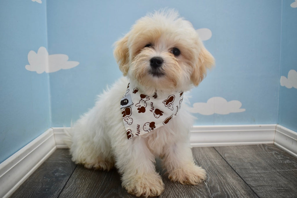 Defender Male Teacup Teddy Bear Puppy