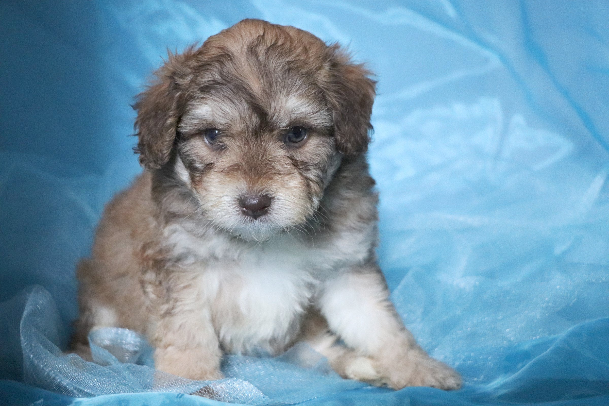 Ridgy Male Miniature Aussiedoodle Puppy *