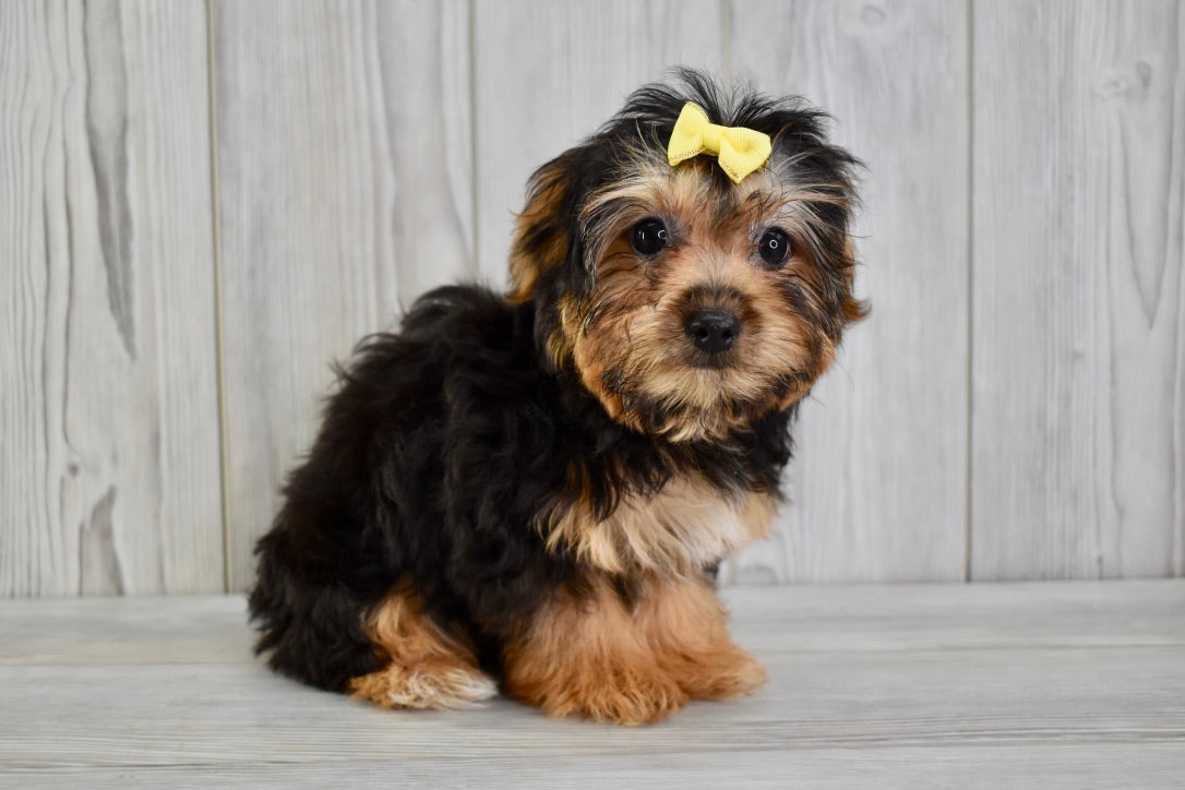 Corolla Female Teacup-Toy Yorkichon Puppy