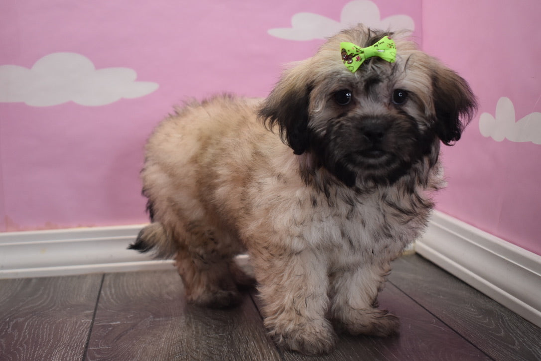 *RESERVED*Eevee Female Peke-a-Chon Puppy