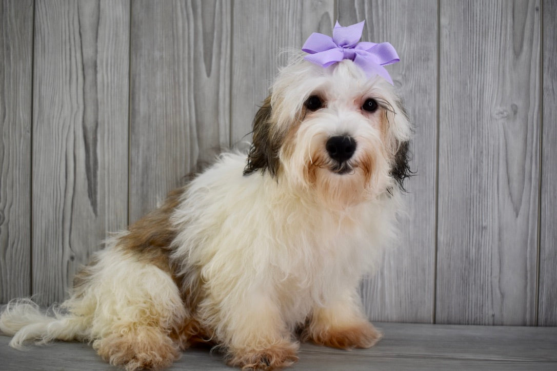 *RESERVED* Stormi Female Teacup Maltipoo Puppy