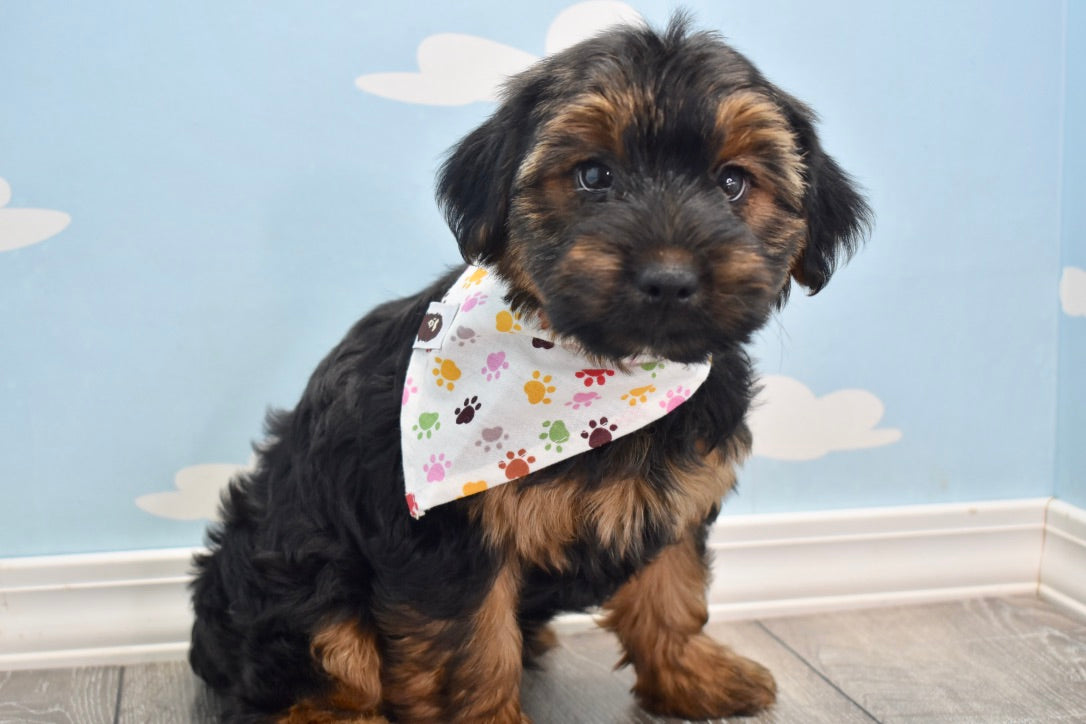 *RESERVED* Beetle Male Teacup Morkie Puppy