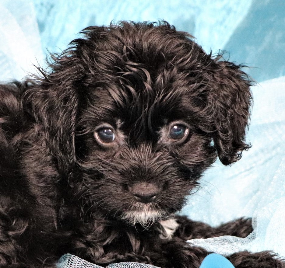 Ziggy Male Cavapoo Puppy