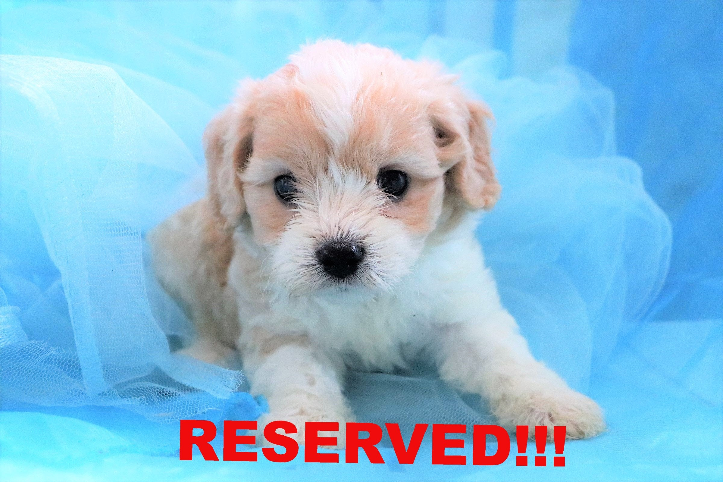 Ajax Male Cavachon Puppy