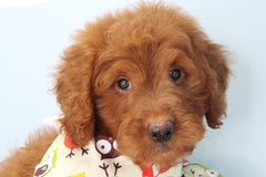 Aries Male F1b Miniature Goldendoodle Puppy