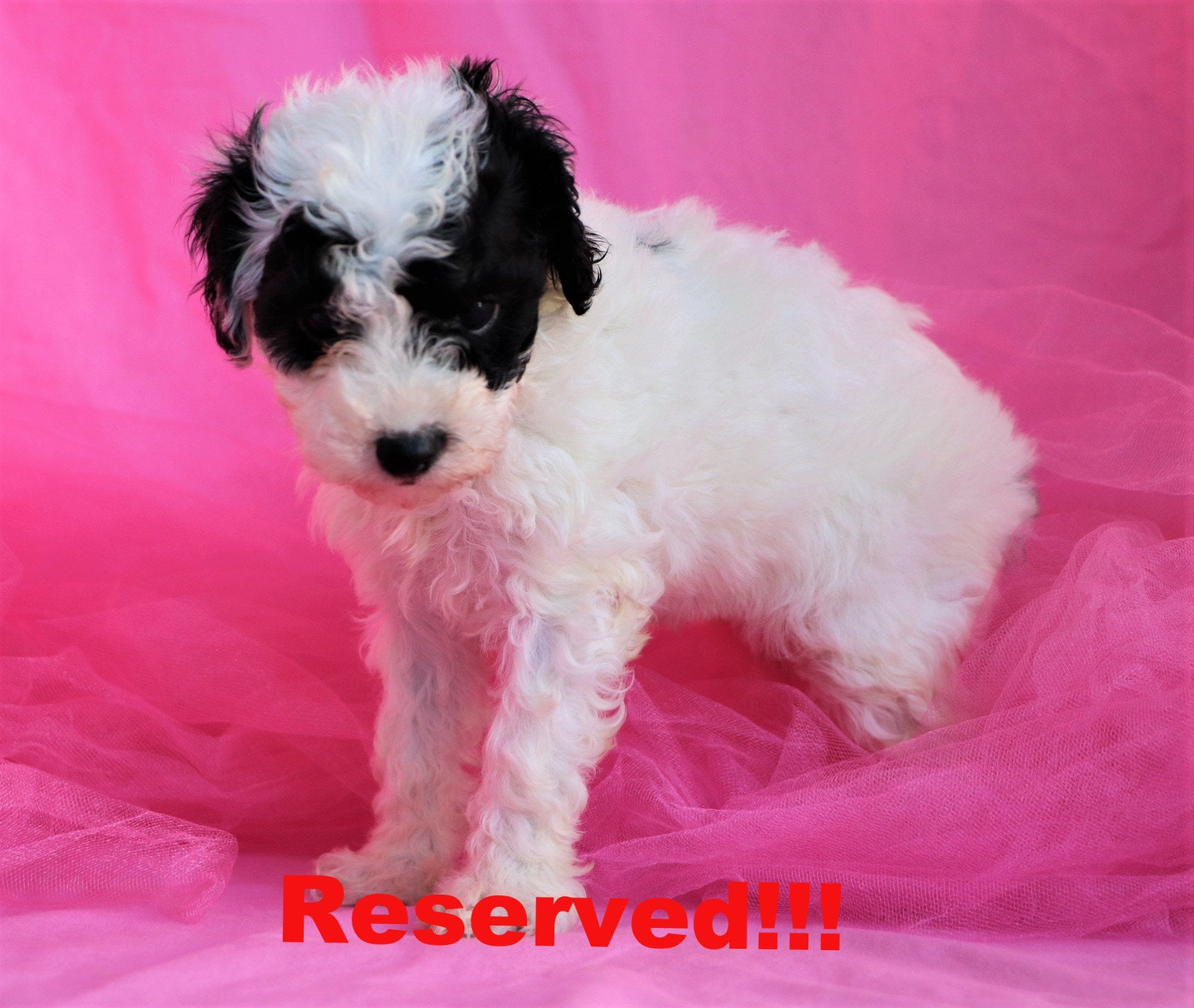 Bella Female Teacup Maltipoo Puppy