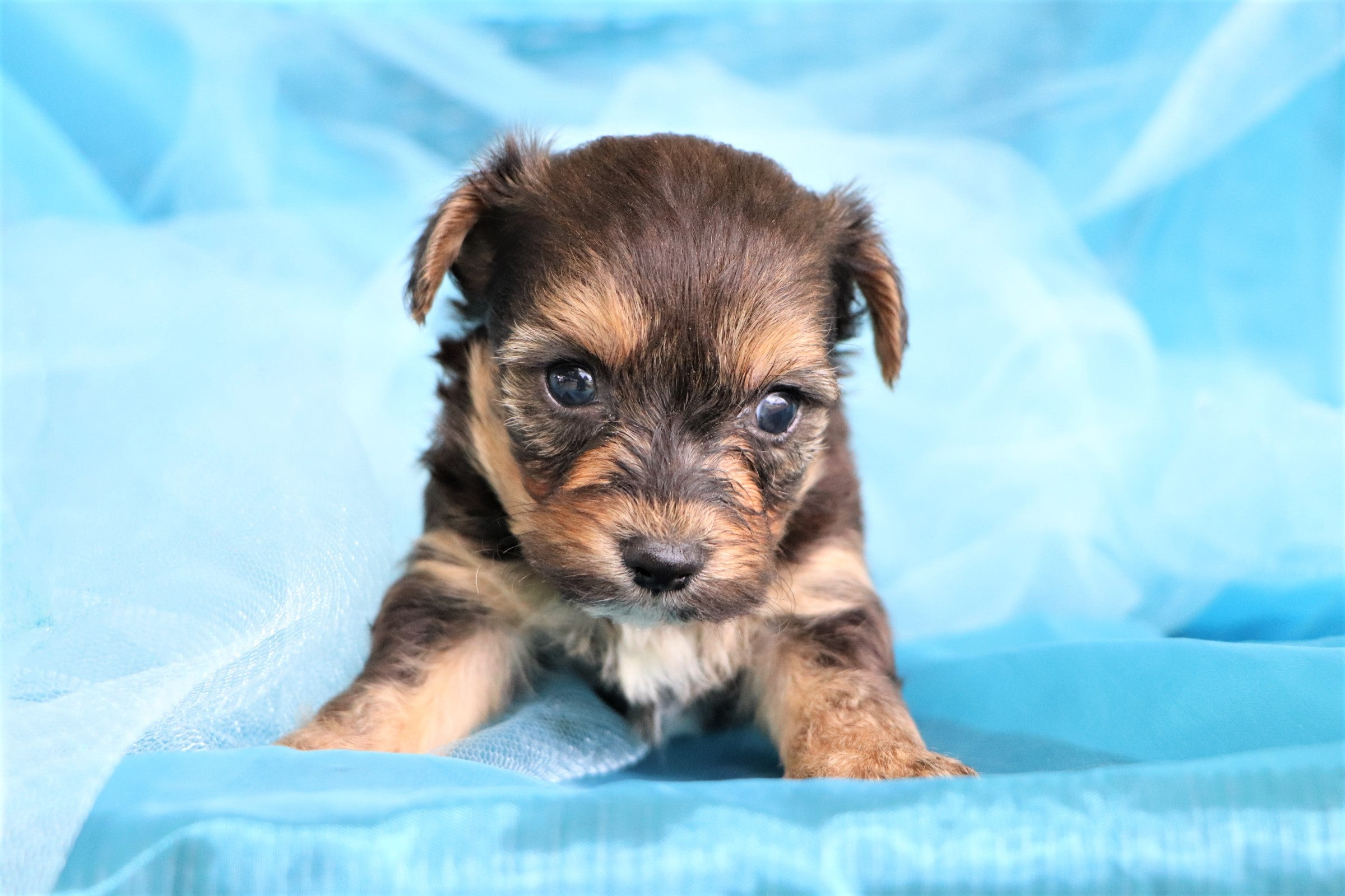 Caper Male Teacup Merle Morkie Puppy