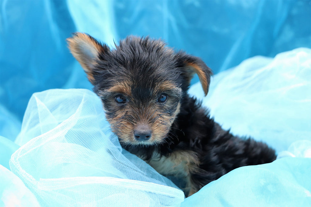 Captain Male Teacup Yorkie Puppy