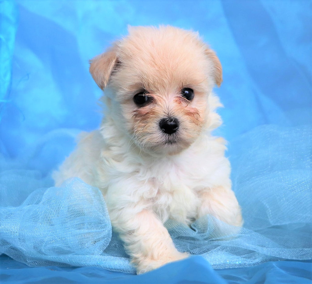 Colton Male Teacup Maltipoo Puppy*