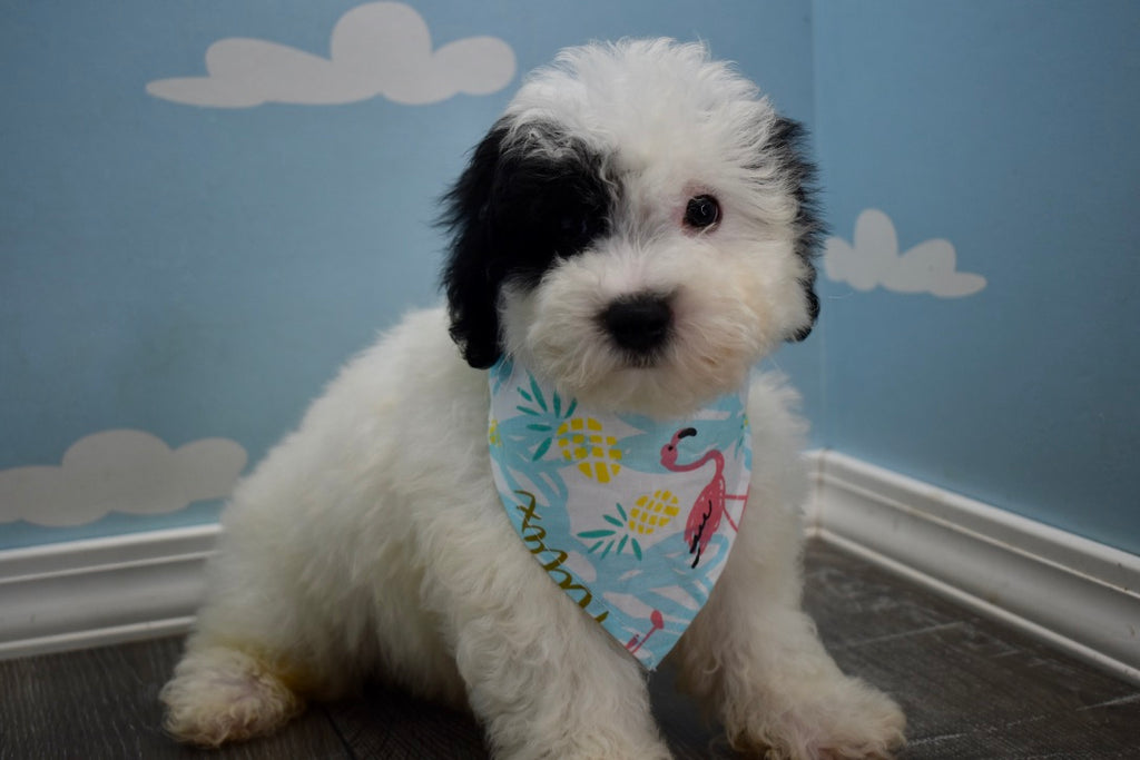 Bubsy Male Teacup Teddy Bear Puppy