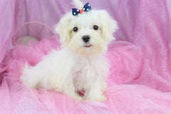 Eve Female Teacup Maltese Puppy