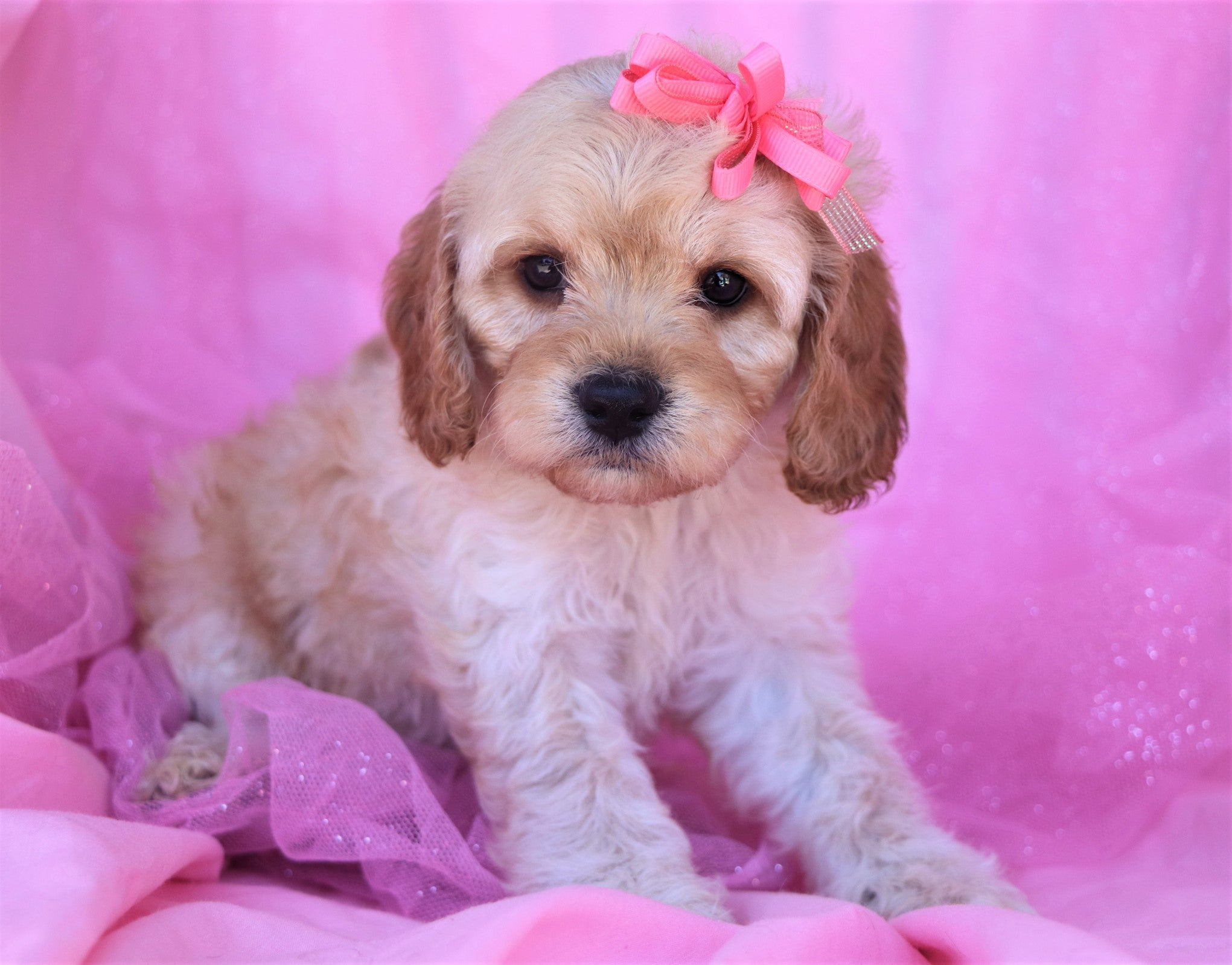*RESERVED* Sandy Female Cavacockapoo Puppy*