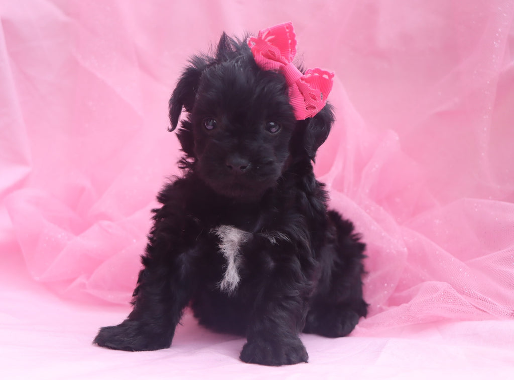 *RESERVED* Cowgirl Female Teacup Yorkiepoo Puppy*