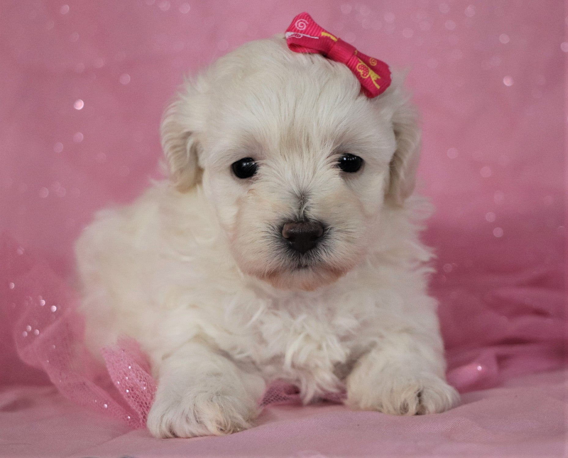 *RESERVED* Fig Female Teacup Maltipoo Puppy*