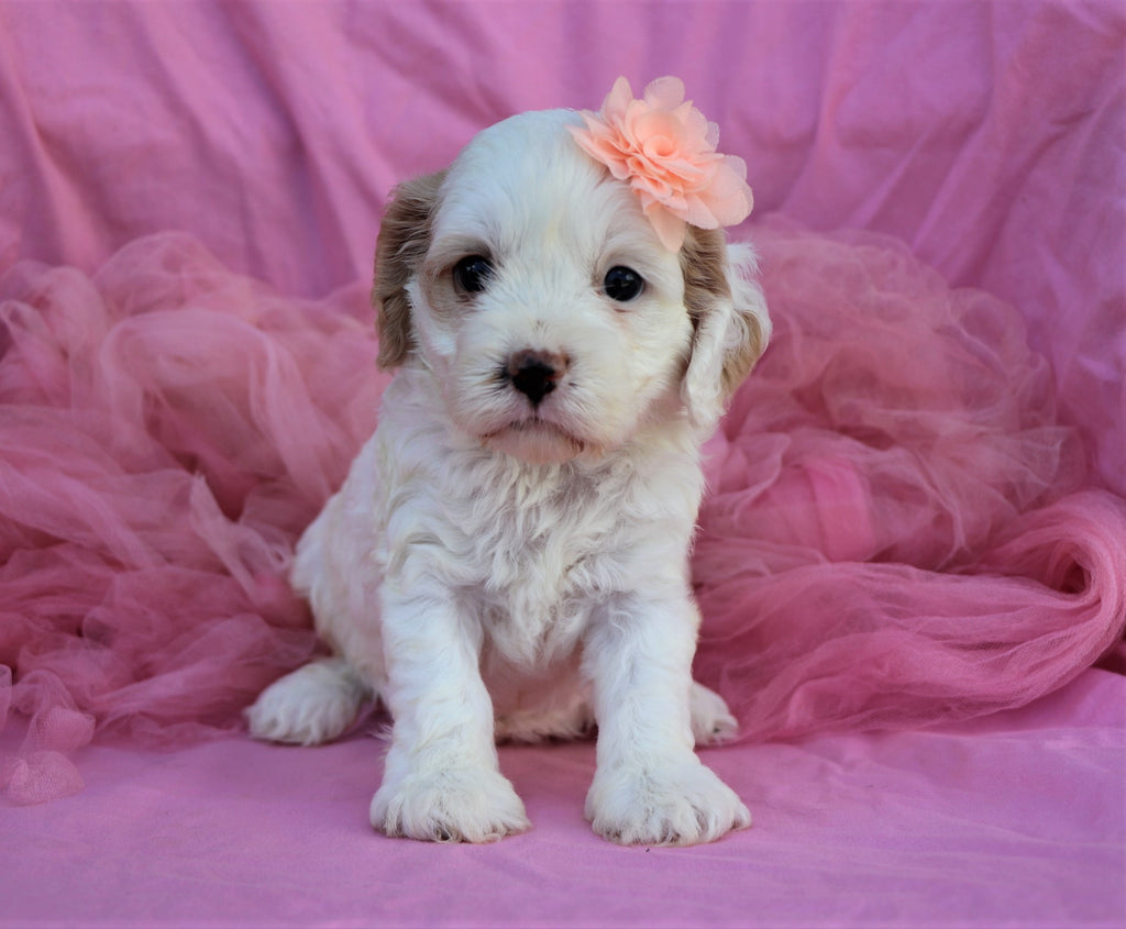 Cockapoo Puppies  Happytail Puppies  Family Dog Breeders In Nc-6300