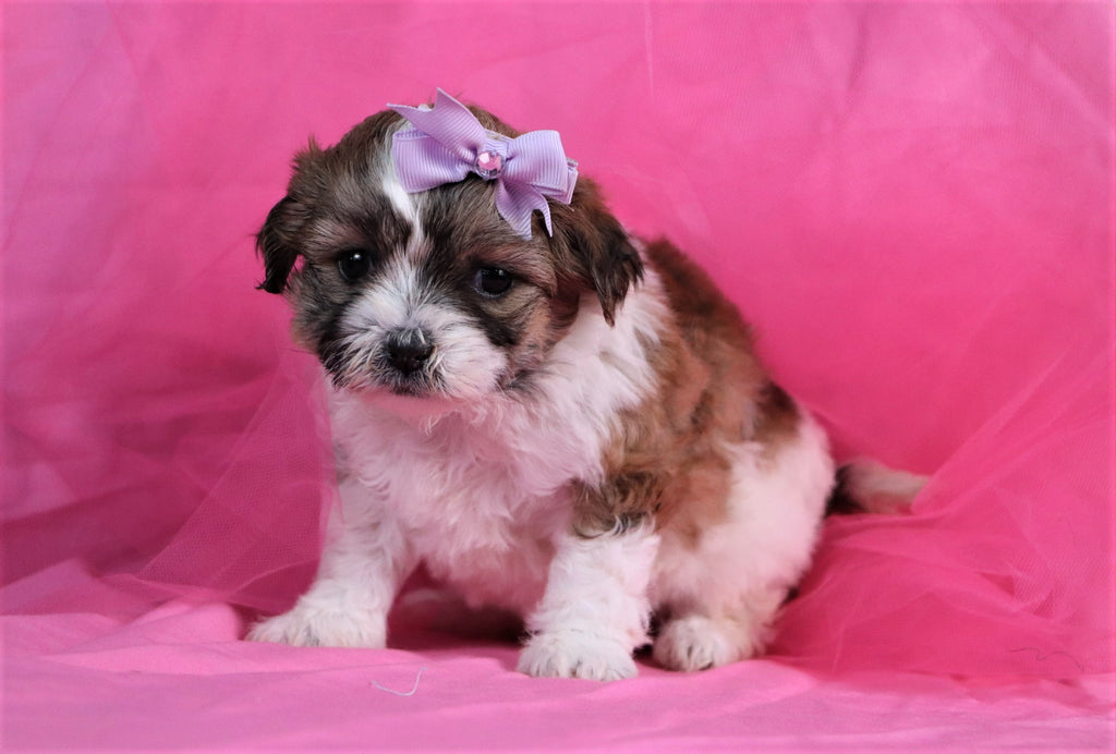 Teddy Bear Puppies Happytail Puppies Family Dog Breeders In Nc