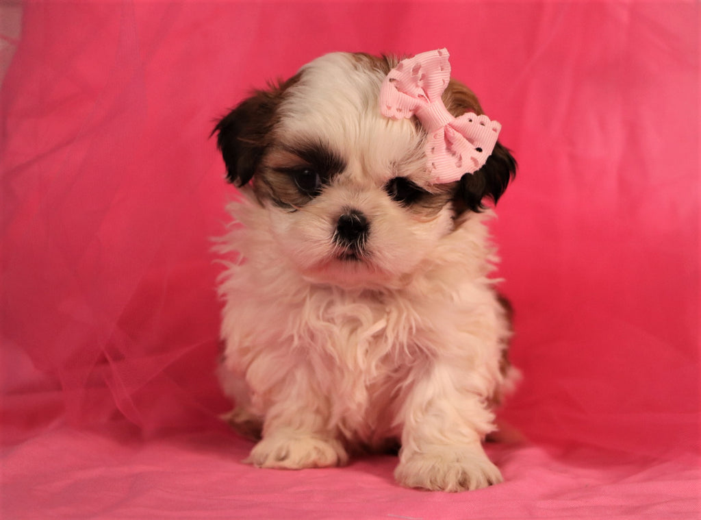 Heather Female Shih Tzu Puppy