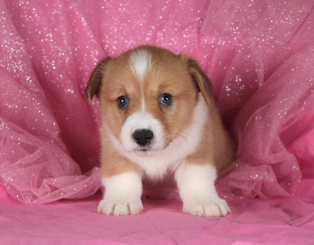 Papaya Female Corgi Puppy*