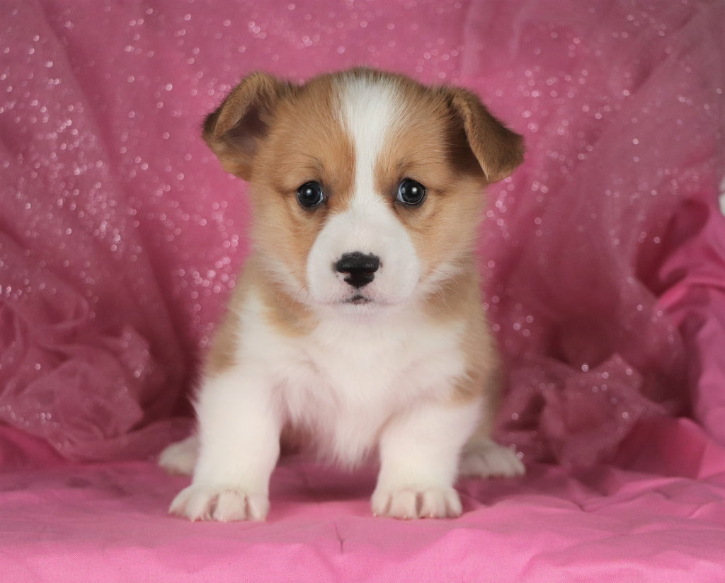 Banana Female Corgi Puppy*