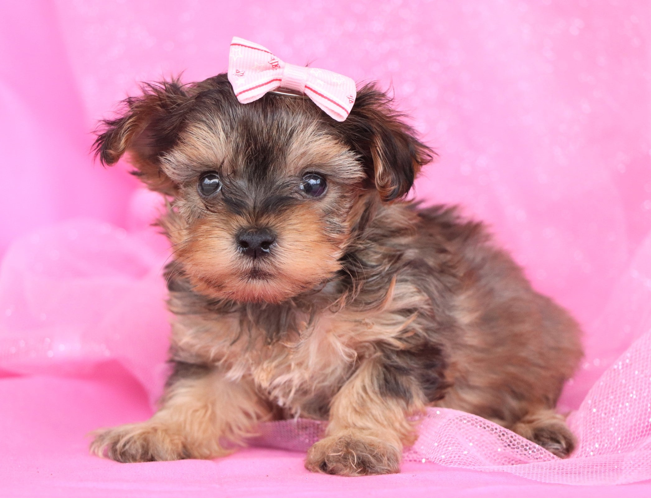 Pippie Female Teacup Yorkie Puppy*
