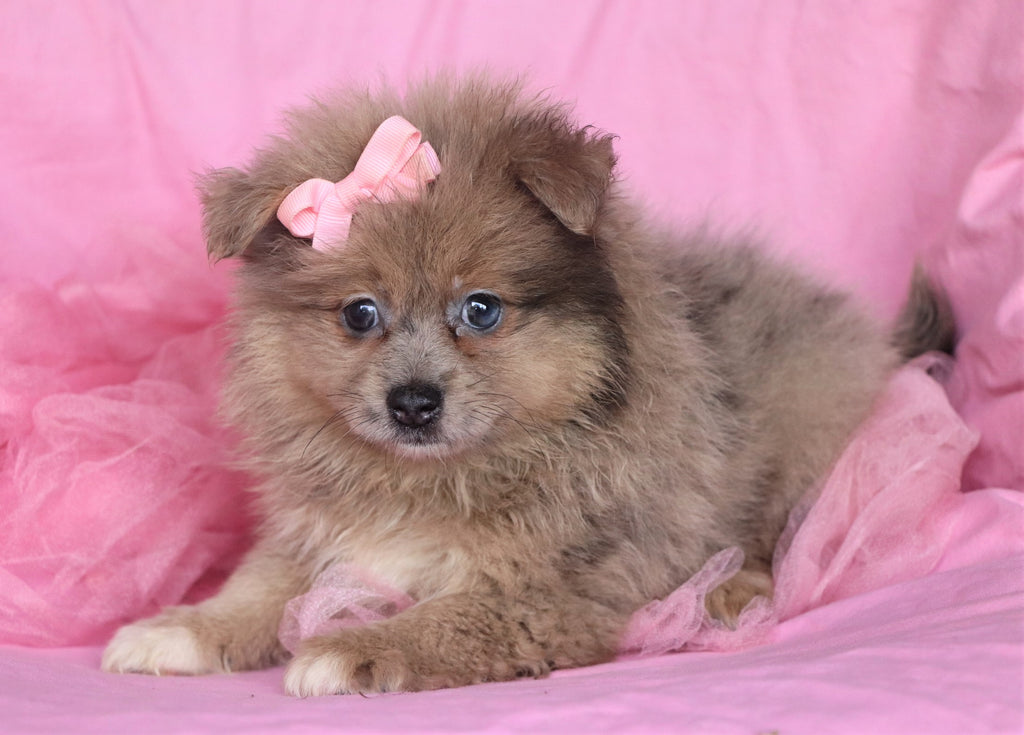 Pomeranian Puppies   Happytail Puppies   Family Dog Breeders