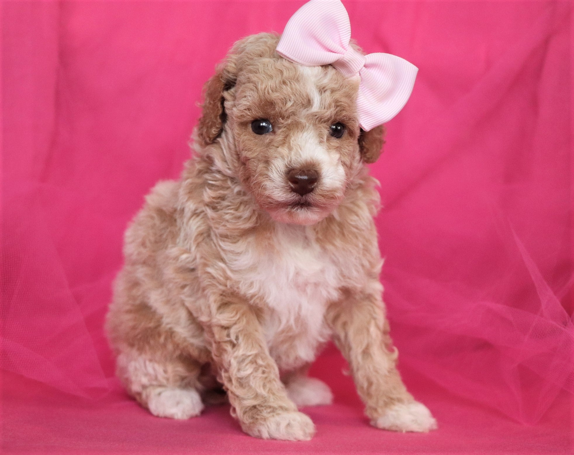 Opal Female F1B Teacup Bichpoo Puppy