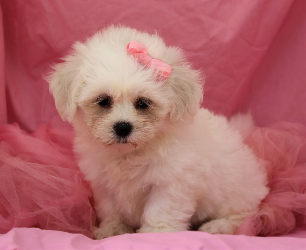 Mera Female Teacup Teddy Bear Puppy