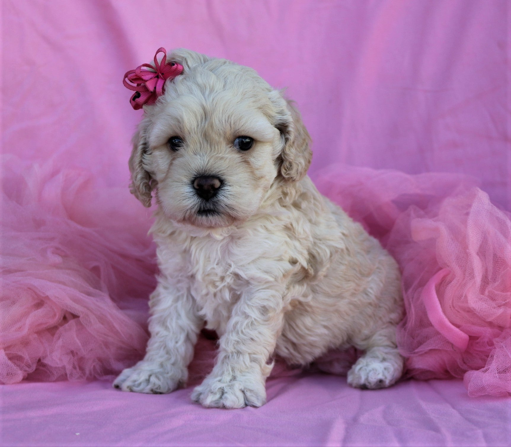 *RESERVED*Farrah Female Miniature Cockapoo Puppy*