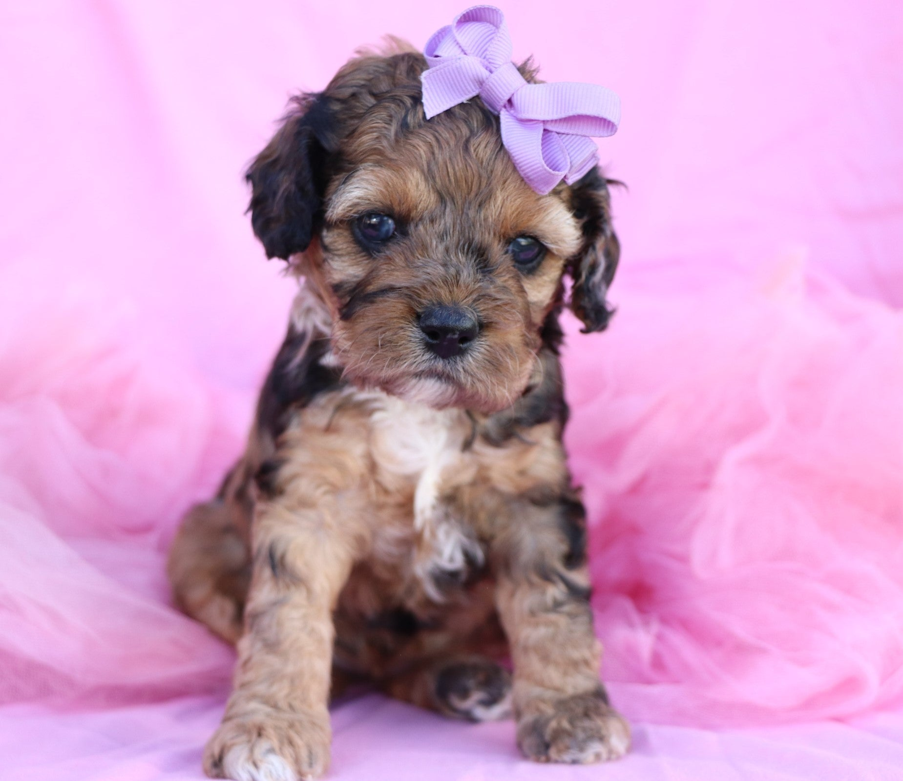 *RESERVED*Fletcher Female Miniature Cockapoo Puppy*