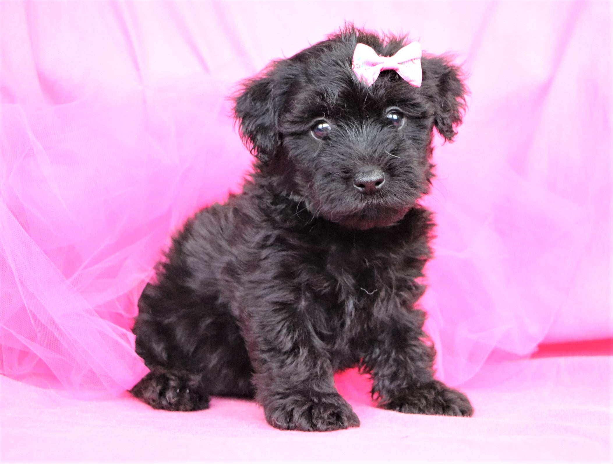 *RESERVED* Roxy Female Teacup Yorkiepoochon Puppy