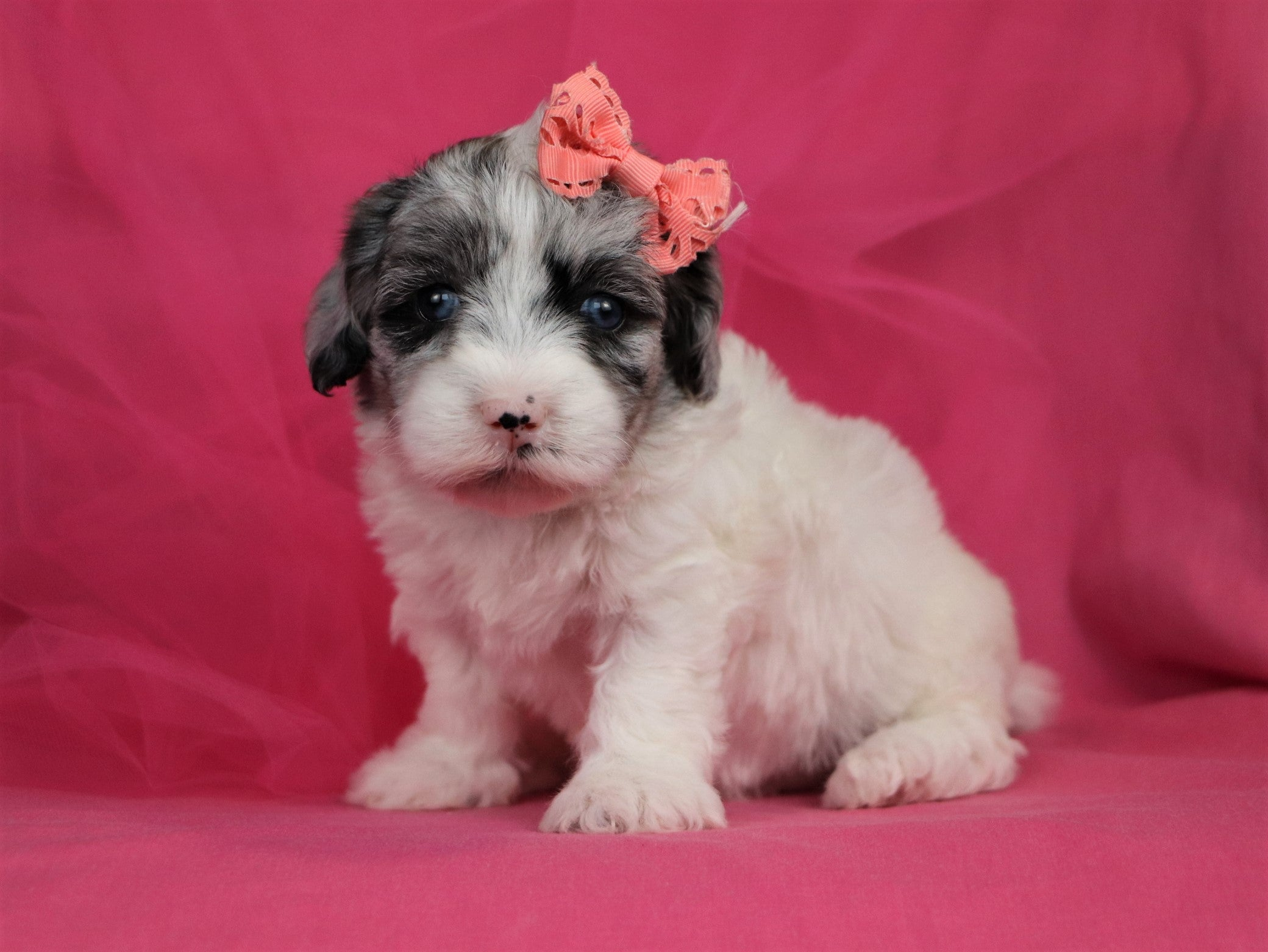 *RESERVED* Amethyst Female F1B Mini Sheepadoodle Puppy