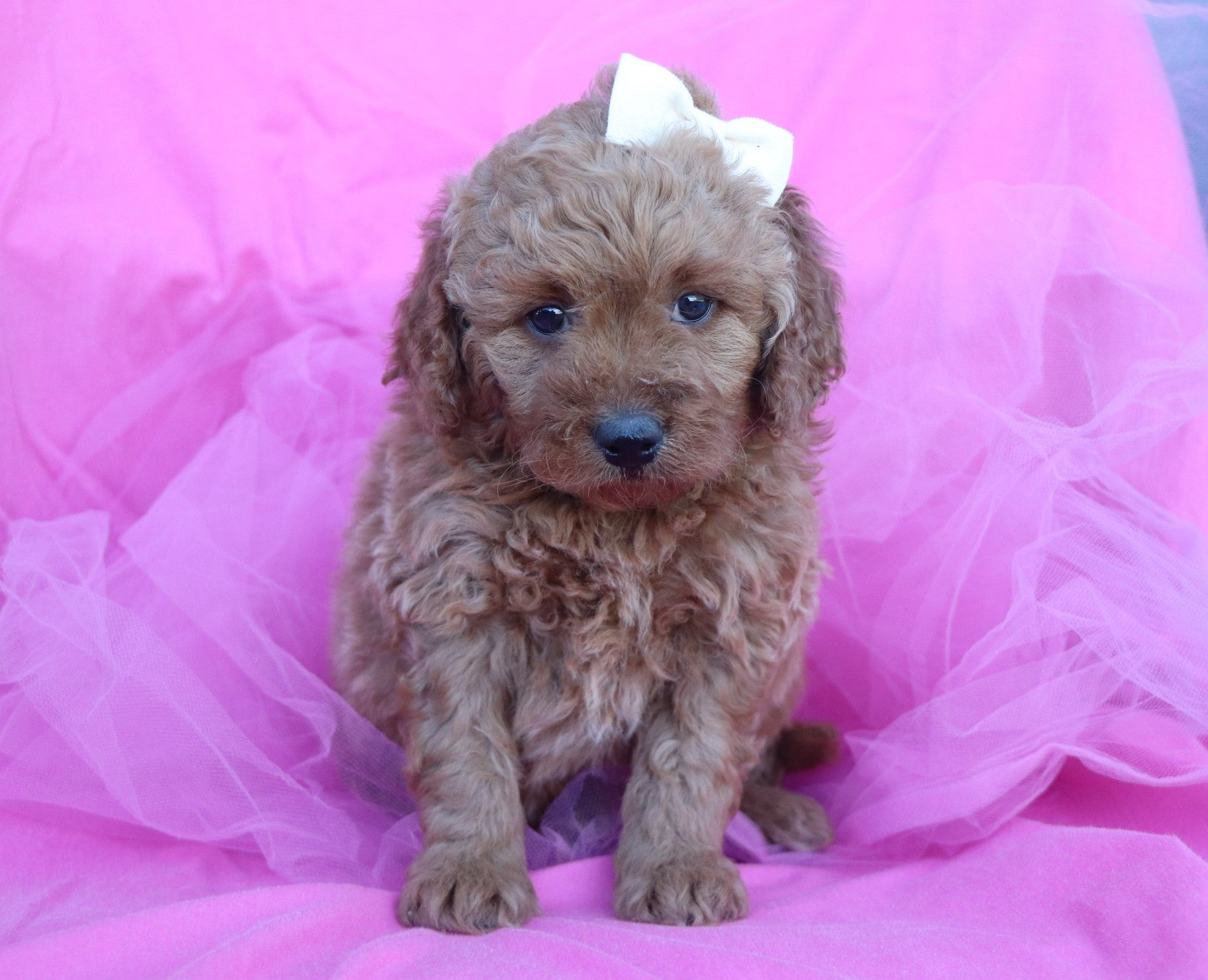 *RESERVED*Snowball Female F1B Goldendoodle Puppy*