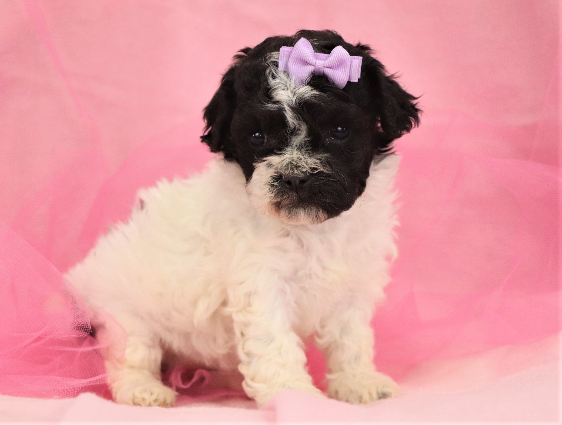 *RESERVED* Babs Female Teacup Teddy Bear Puppy