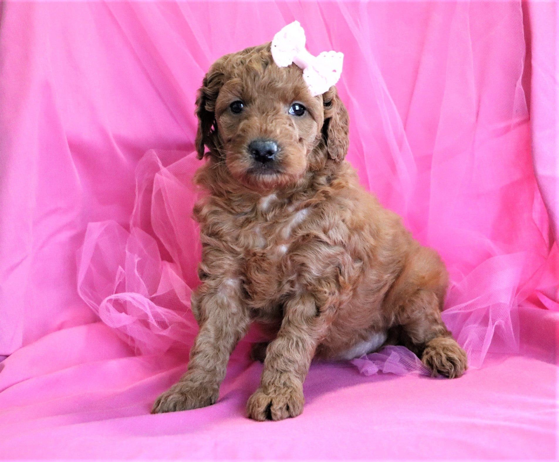 *RESERVED* Honey Female F1B Mini Goldendoodle Puppy*